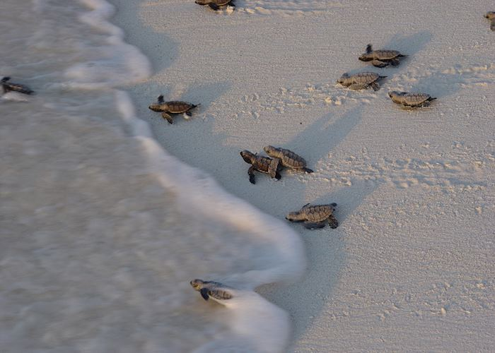 Hawskbill turtles hatching on Bird Island