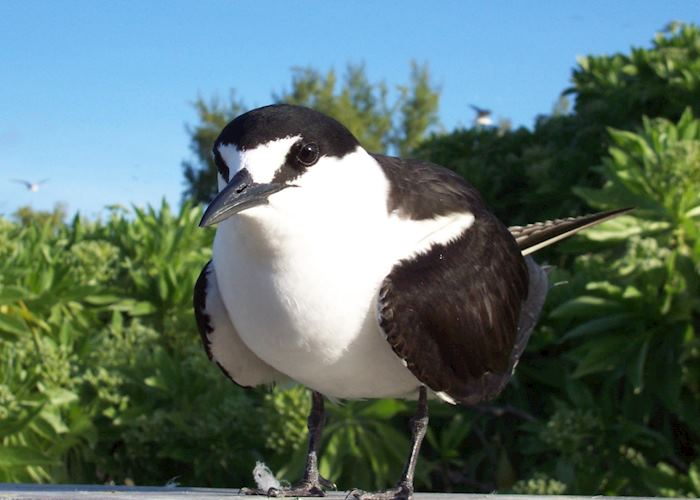 Sooty tern, Bird Island