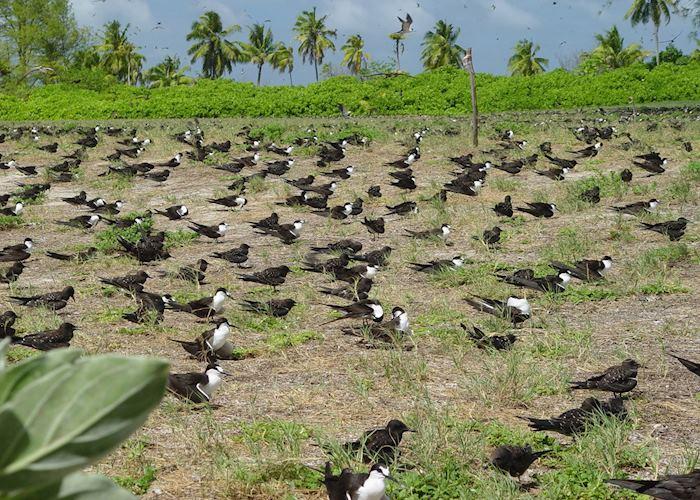 Sooty tern colony, Bird Island