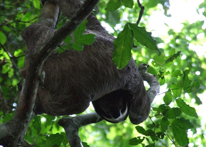 Sloth along the Pipeline Road, Soberania National Park