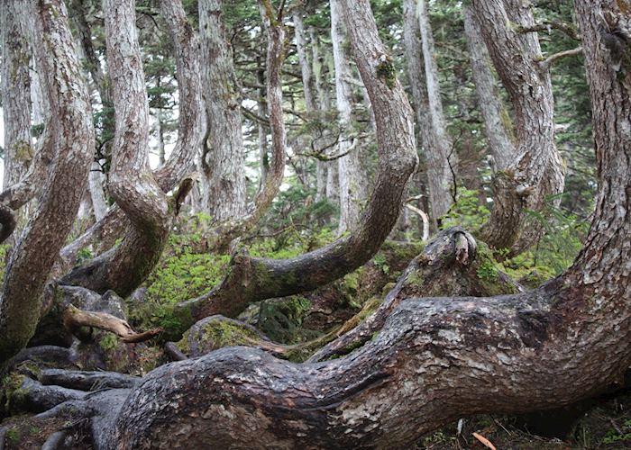 Alpine Forest, Juneau