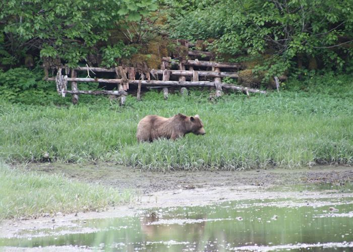 Brown Bear at Pack Creek, Admiralty Island