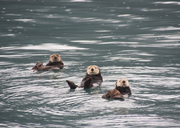Sea otters, Prince William Sound