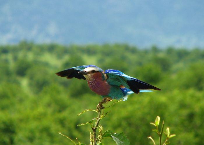 Lilac-breasted Roller, Ruaha National Park, Tanzania