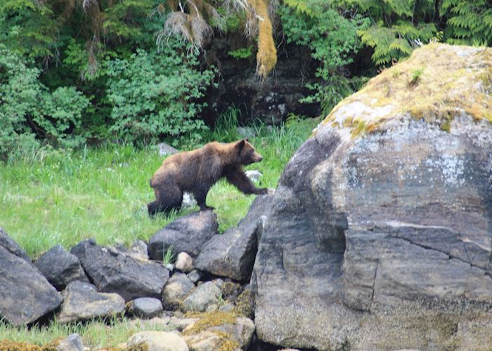 Brown bear, Misty Fjords National Monument