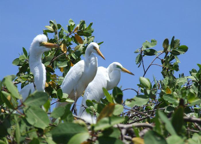 Great Egrets, Juan Venado Island
