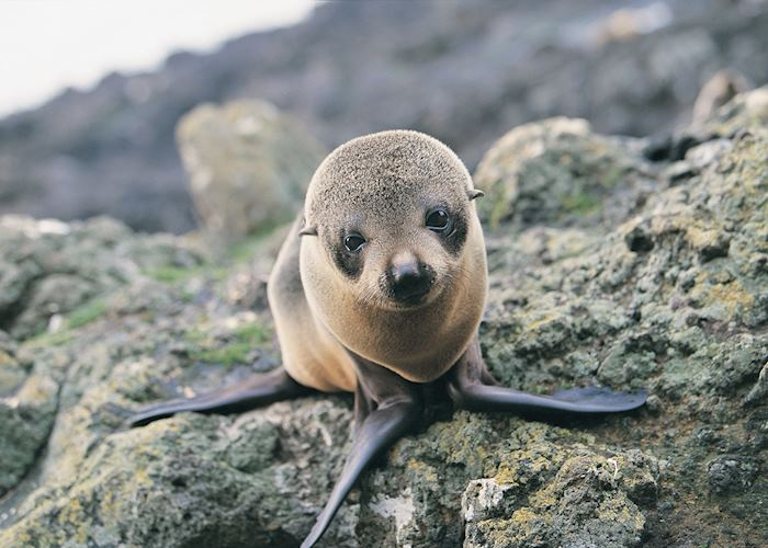 Seal pup, Otago Peninsula