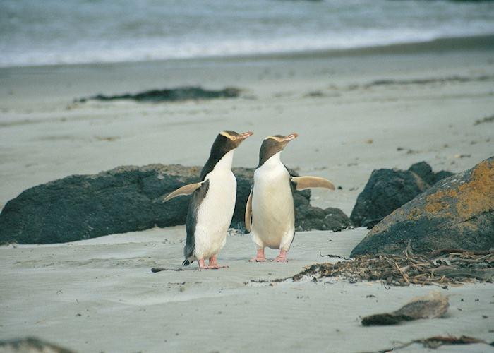Yellow eyed penguins, Otago Peninsula