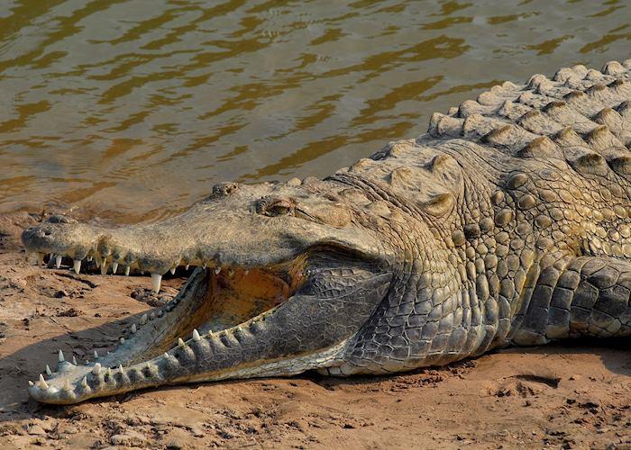 Orinoco Crocodile, Los Llanos