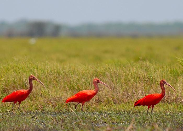 Sacrlet Ibis, Los Llanos