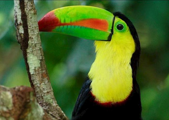 Toucan, Pacuare Lodge