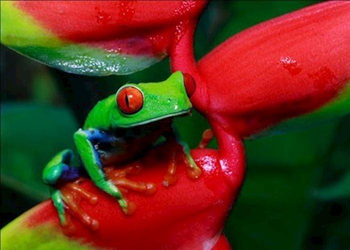 Red eye Treefrog, Tortuguero National Park