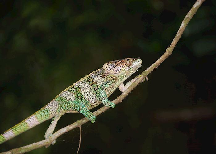 Chameleon, Amber Mountain National Park (Montagne D'Ambre), Madagascar