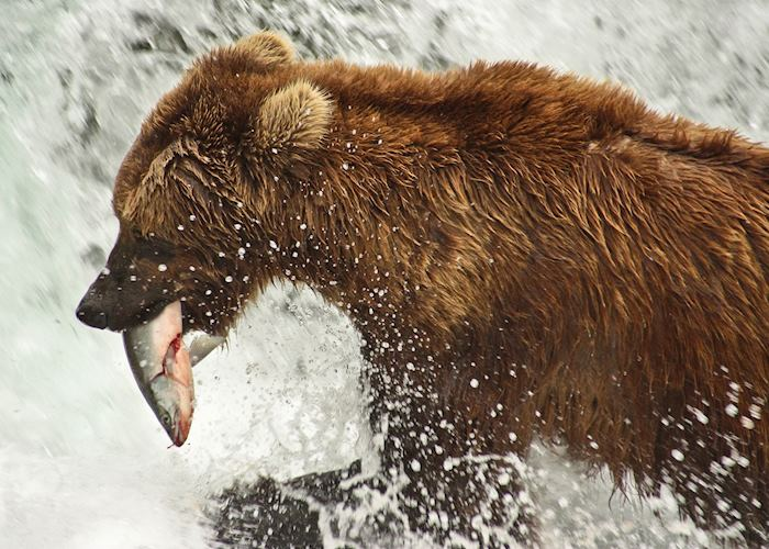 Brown bear with salmon, Brooks Falls