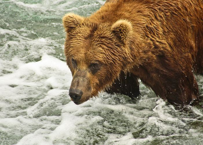 Brown bear, Brooks Falls