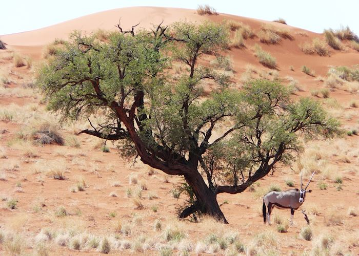Oryx in the Wolwedans Reserve, Namibia