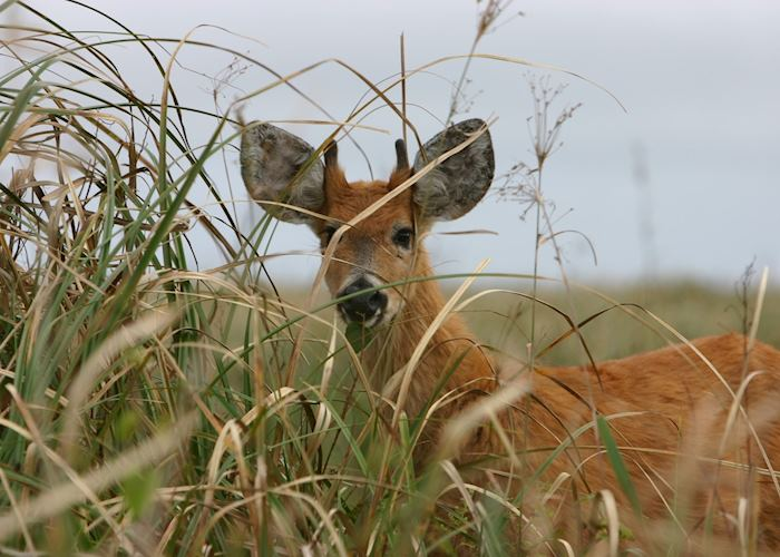 Marsh deer in the Ibera Wetlands