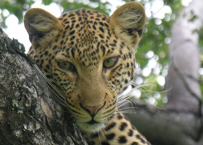 Leopard, Kwara Concession