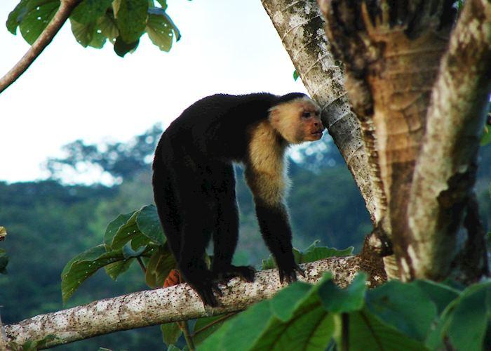 Capuchin Monkey, Lapa Rios