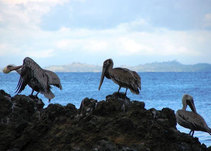 Pelicans, Osa Peninsula
