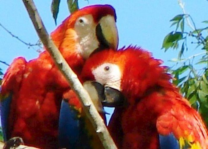 Scarlet Macaw, Osa Peninsula