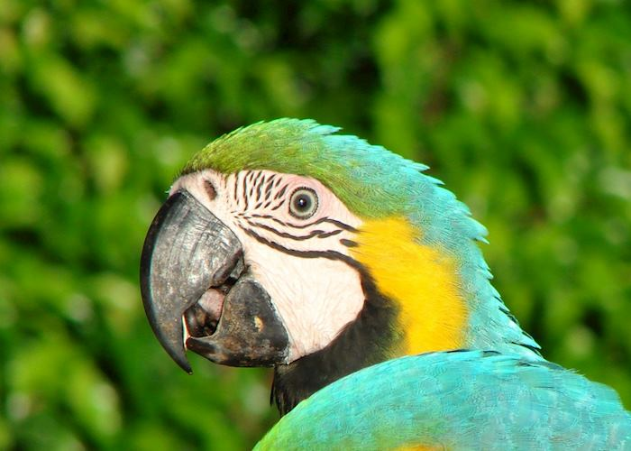 Blue and yellow macaw, Pearl Islands