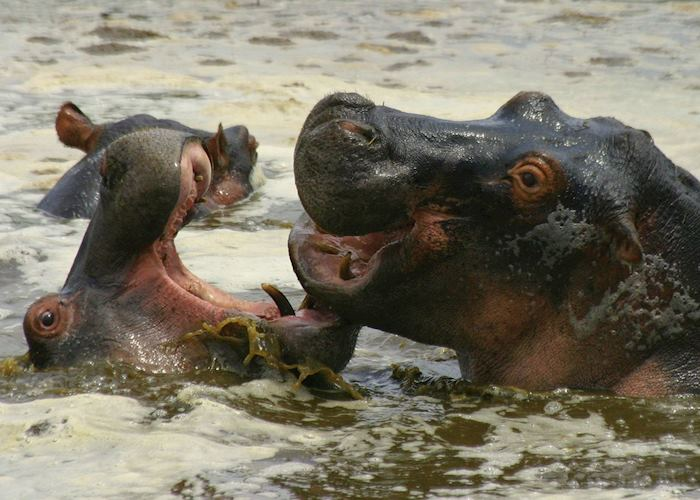 Playful hippo in the Selous Game Reserve