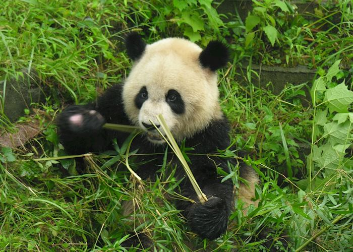 Panda, at Chengdu panda research base
