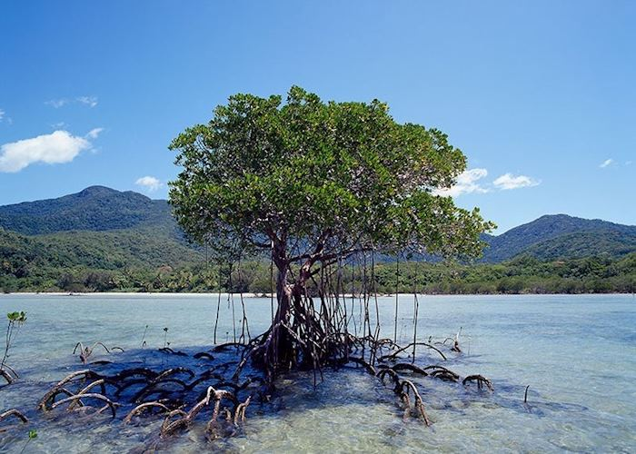 Lone Soldier Mangrove in Stingray Bay, Cape Tribulation by appointment with Downunder Tours