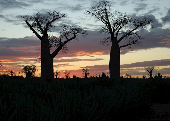 Baobabs, Ifotaka Community Forest, Madagascar