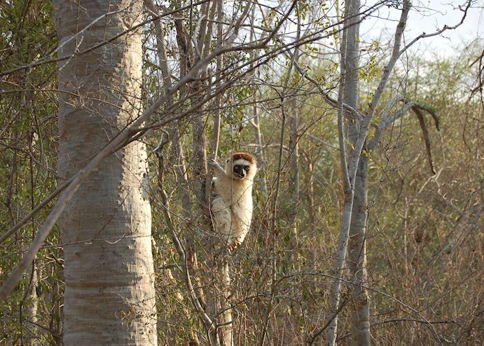 Verreaux's sifaka, Ifotaka Community Forest, Madagascar