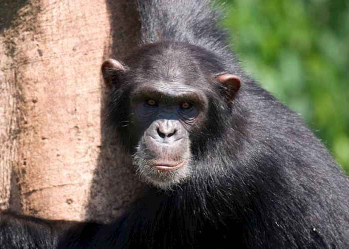 Chimpanzee, Ngamba Island
