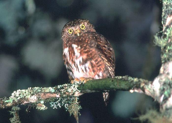 Andean Pygmy Owl, San Gerardo de Dota, Costa Rica