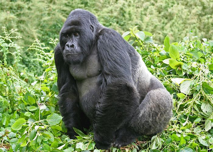 Silverback gorilla, Volcanoes National Park