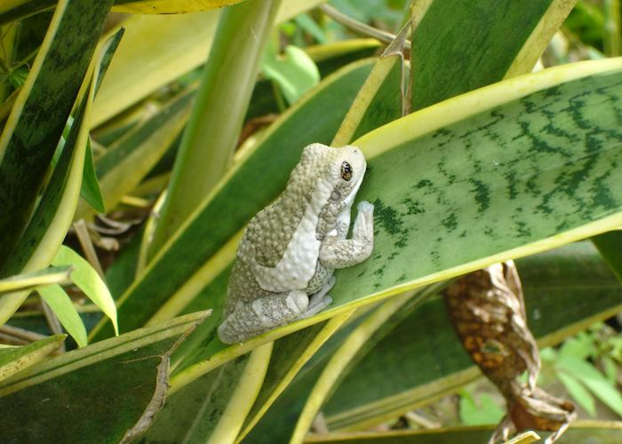 Frog, Belize