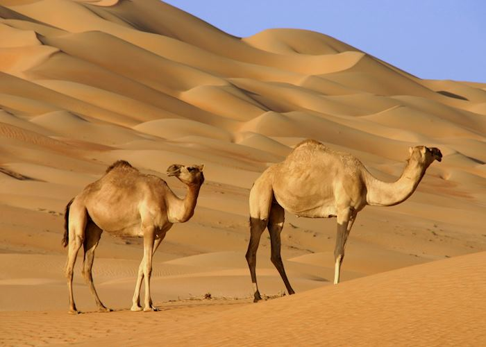 Camels, The Wahiba Sands