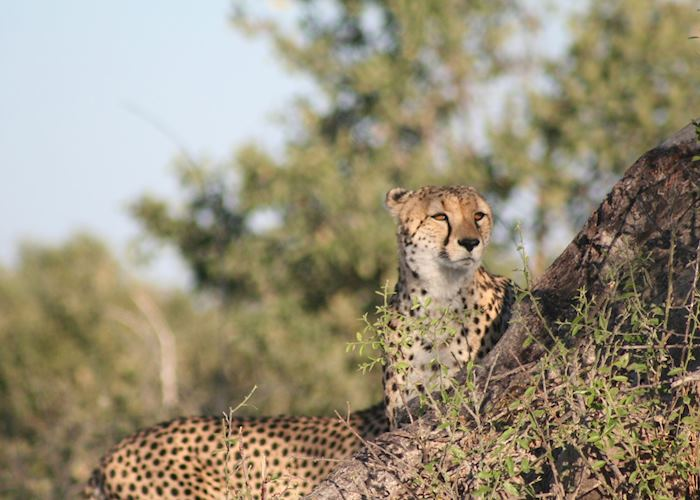Cheetah on the look out, Kwando Concession