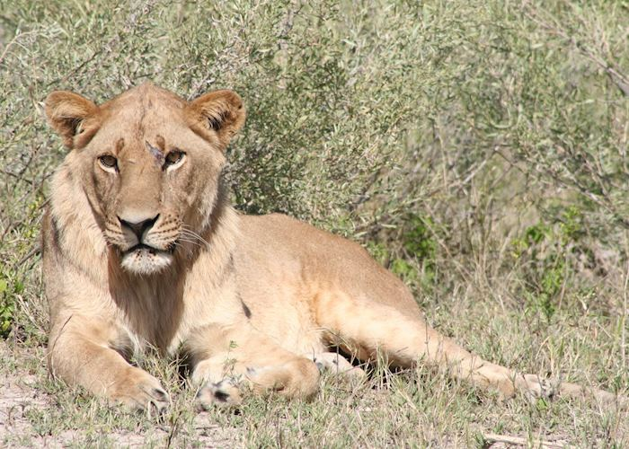 Young male lion, Kwara Concession