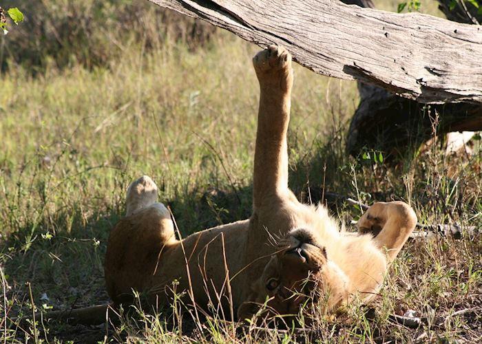 Lion enjoying a good stretch, Kwara Concession