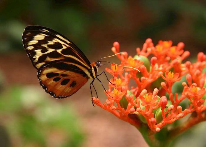 Butterfly at Sacha Lodge, Ecuador