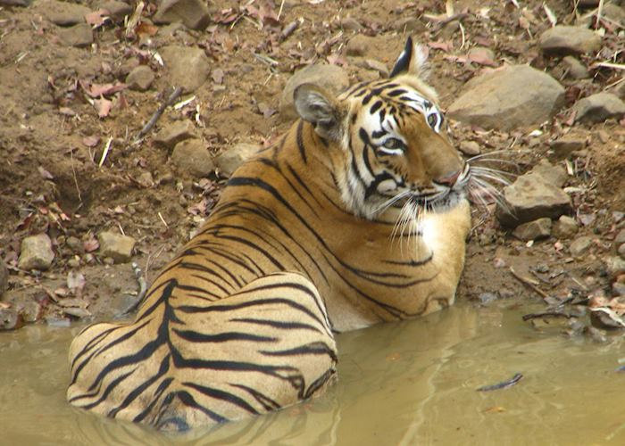 An adult male Bengal tiger resting in a water body