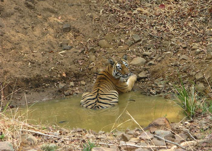 A male tiger spotted on a morning safari at Tadoba National Park