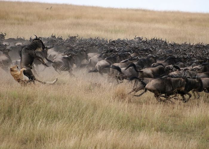The wildebeest migration, Kenya
