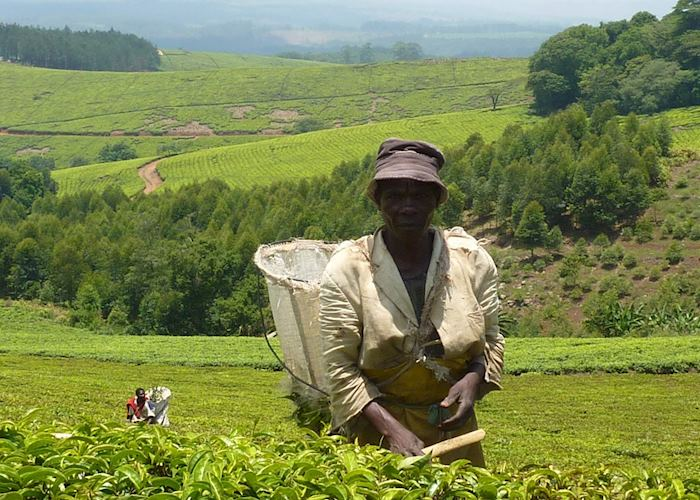 Satemwe tea picker