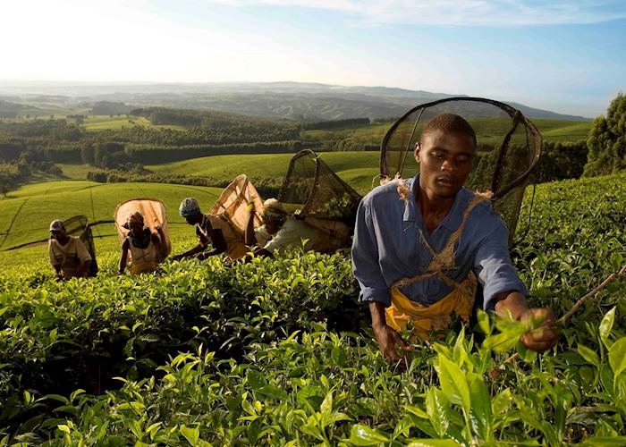 Satemwa tea pickers