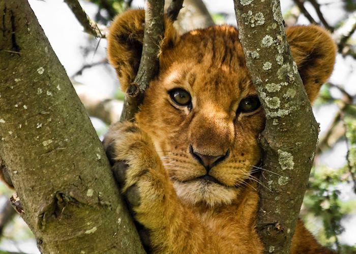 Lion cub, Lake Manyara National Park