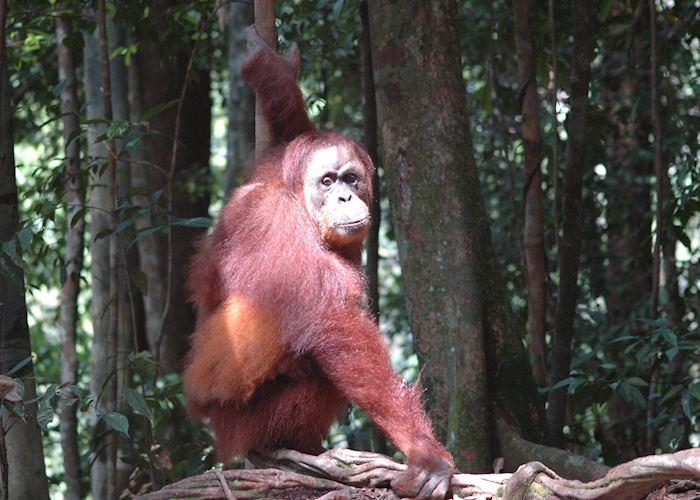 Orang-utan, Bukit Lawang, Indonesia