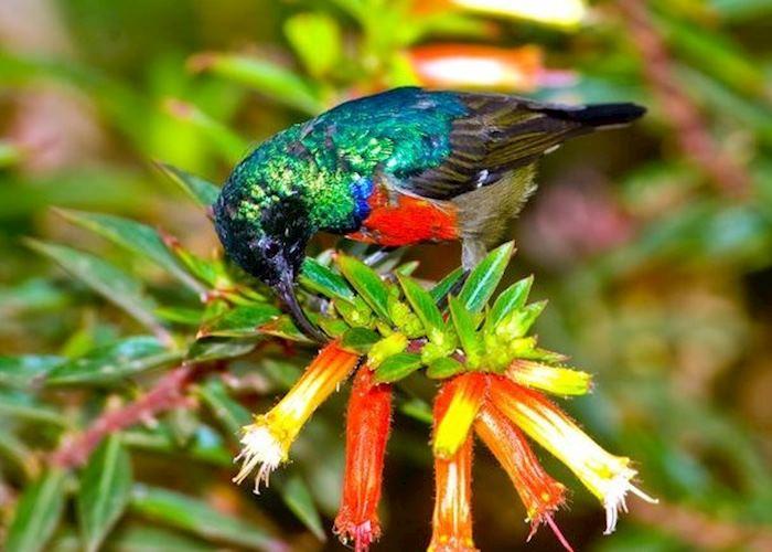 Rwenzori double-collared sunbird, Nyungwe Forest