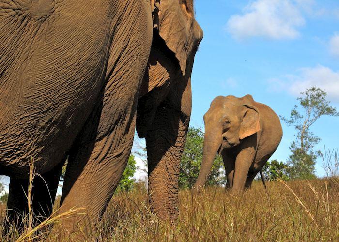 Elephants at the ELIE project, Mondulkiri