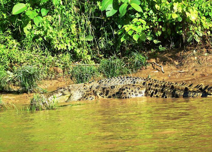Crocodile, Kinabatangan River, Malaysian Borneo